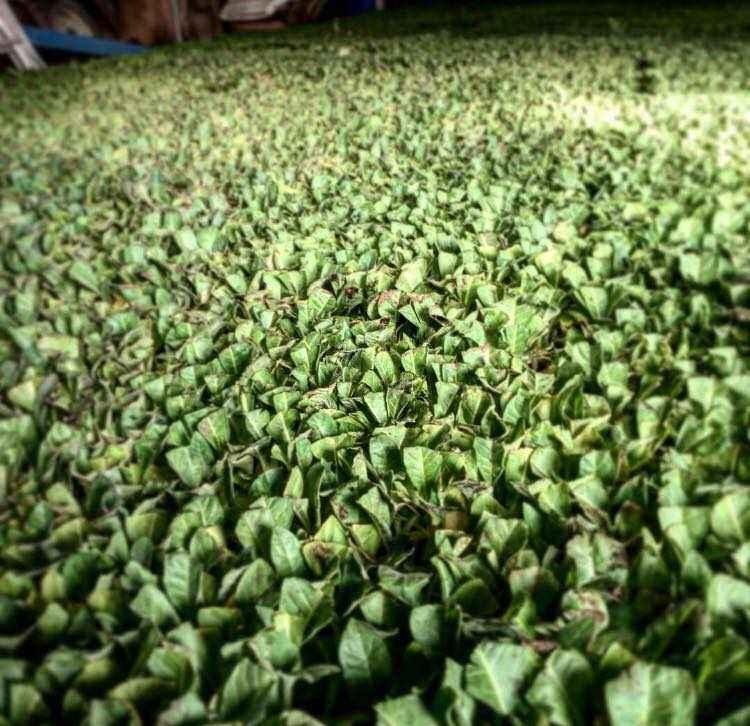 Tabbacco (Nicotiana Spp)