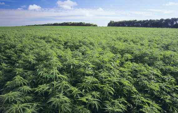 coltivazione-canapa-industriale