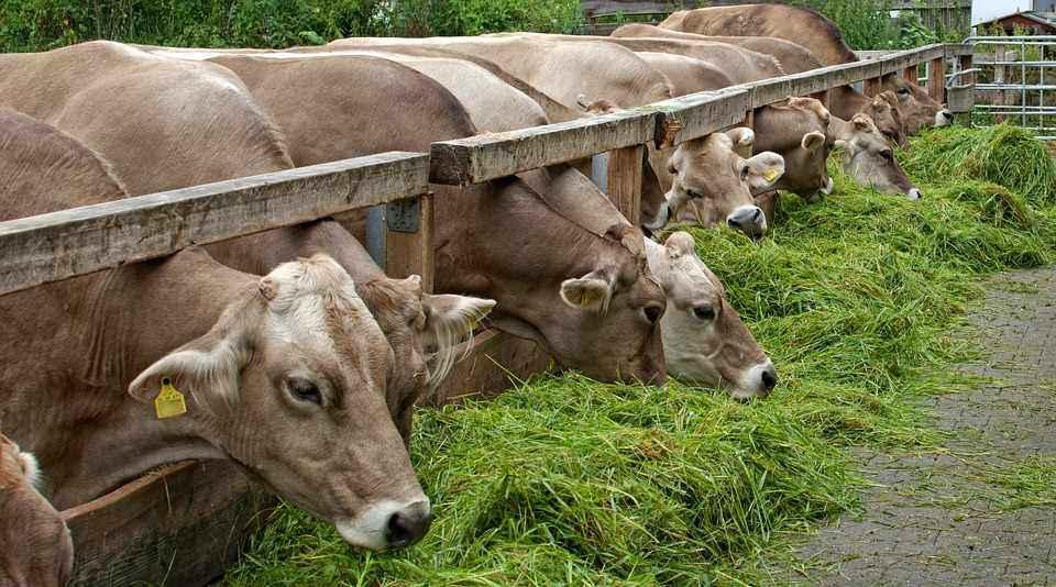 alimentazione delle vacche