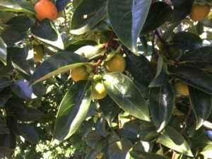 come coltivare i Kaki ? quali sono i benefici?